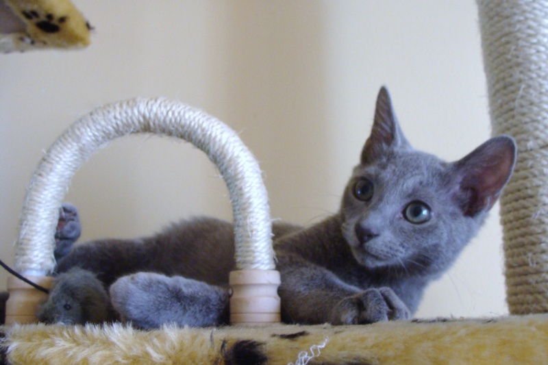 Small Russian Blue Variant is looking for new home Dsc03710