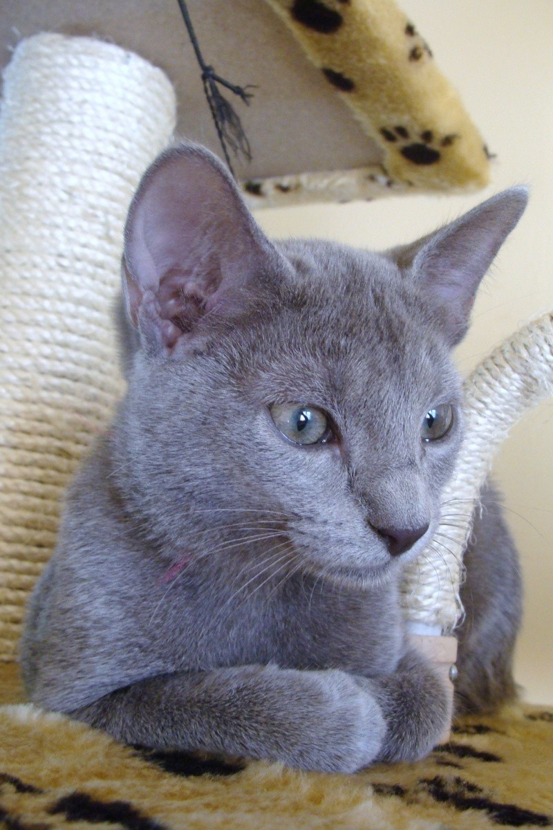 Small Russian Blue Variant is looking for new home Dsc03712