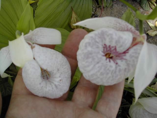 d'autres cypripedium Dscn5910