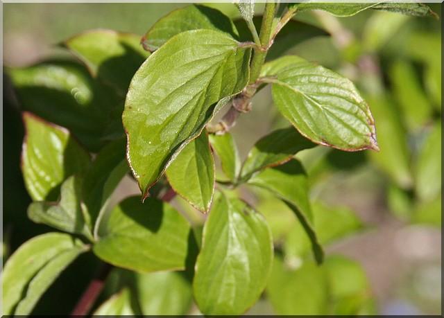 encore un inconnu : arbuste  Inconn10