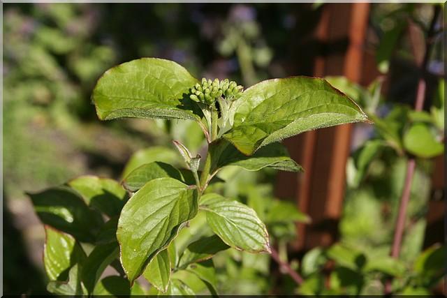 encore un inconnu : arbuste  Inconn11