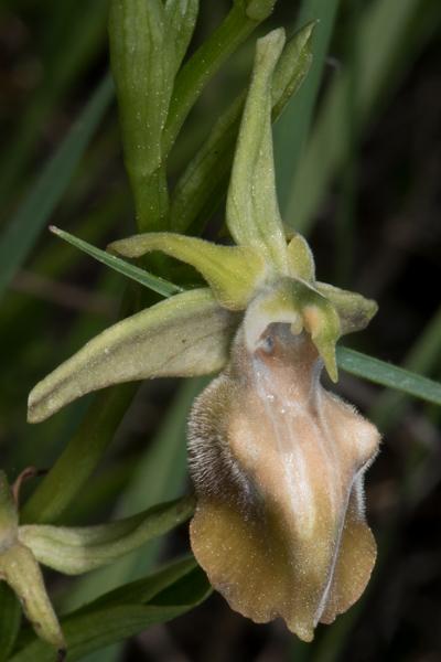Chypre du 17 au 27 mars 2016 Ophrys28