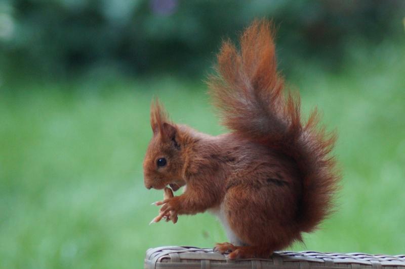 Un écureuil gourmand (un vrai, pas en laine cardée)  ;) Dsc05110