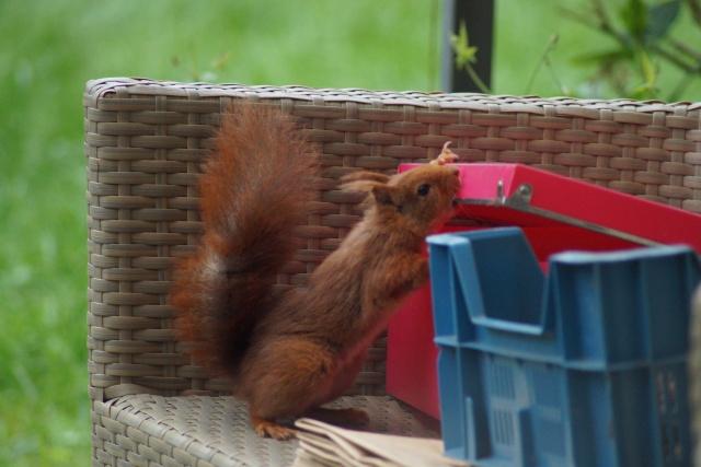Un écureuil gourmand (un vrai, pas en laine cardée)  ;) Dsc05112