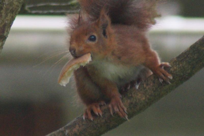 Un écureuil gourmand (un vrai, pas en laine cardée)  ;) Dsc05113
