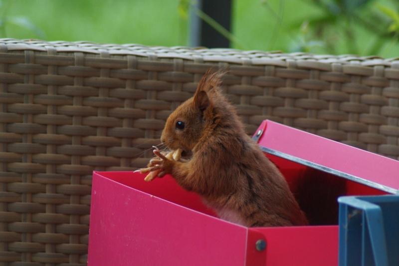 Un écureuil gourmand (un vrai, pas en laine cardée)  ;) Dsc05114