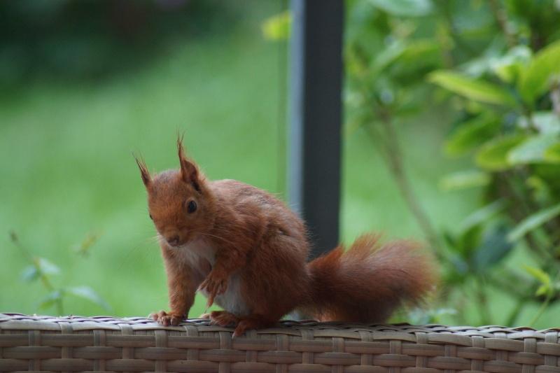 Un écureuil gourmand (un vrai, pas en laine cardée)  ;) Dsc05115
