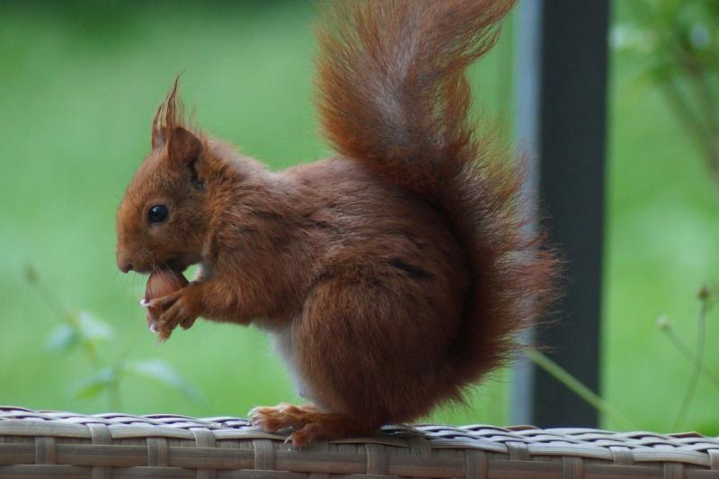 Un écureuil gourmand (un vrai, pas en laine cardée)  ;) Dsc05116