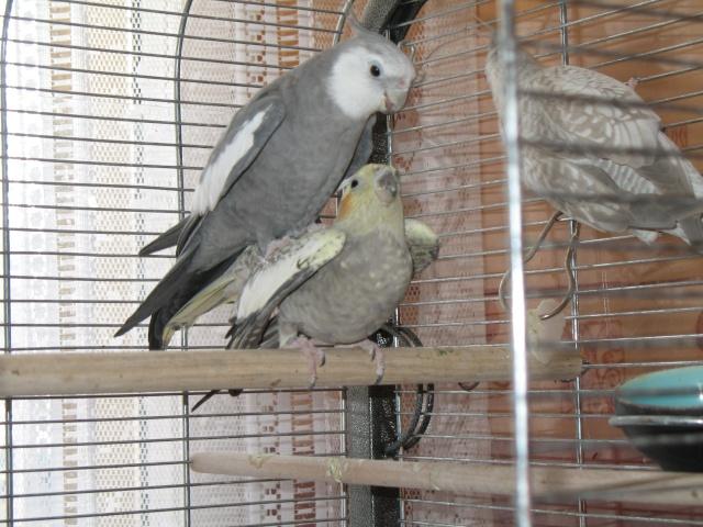 Citronelle , grisou et leurs petits Copie_11