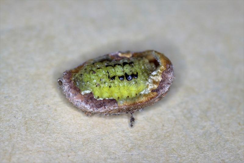Parasa lepida (Limacodidae) - Notes d'elevage Img_8812