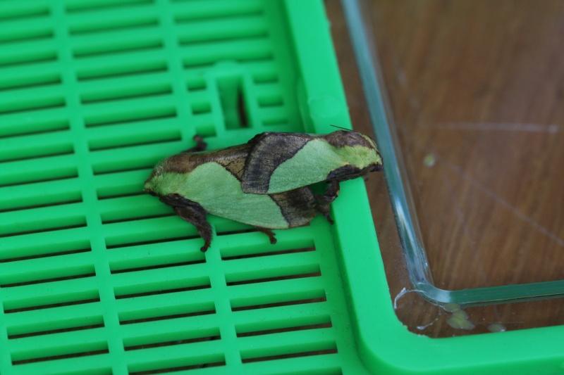 Parasa lepida (Limacodidae) - Notes d'elevage Img_9217