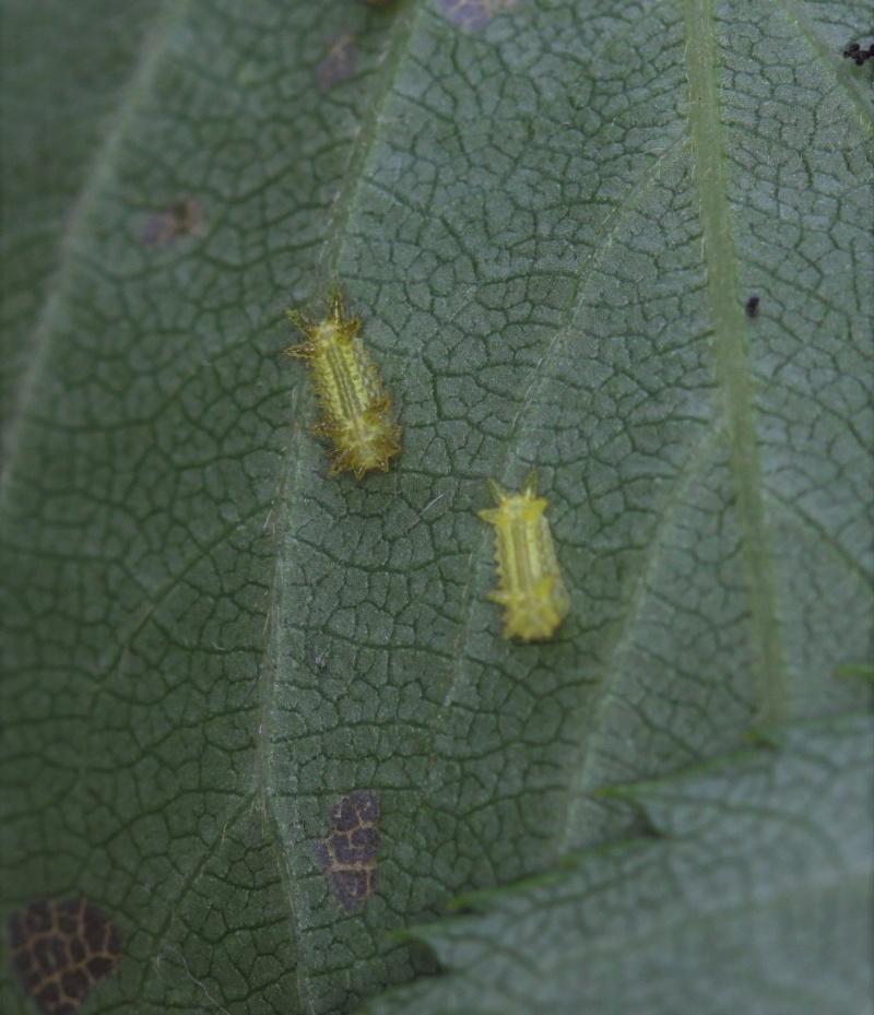 Parasa lepida (Limacodidae) - Notes d'elevage Img_9510