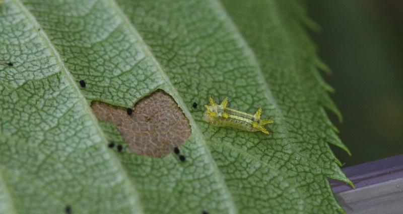 Parasa lepida (Limacodidae) - Notes d'elevage Img_9511