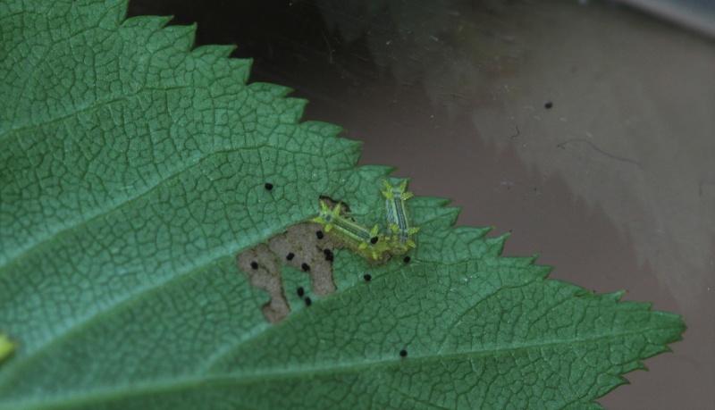 Parasa lepida (Limacodidae) - Notes d'elevage Img_9512