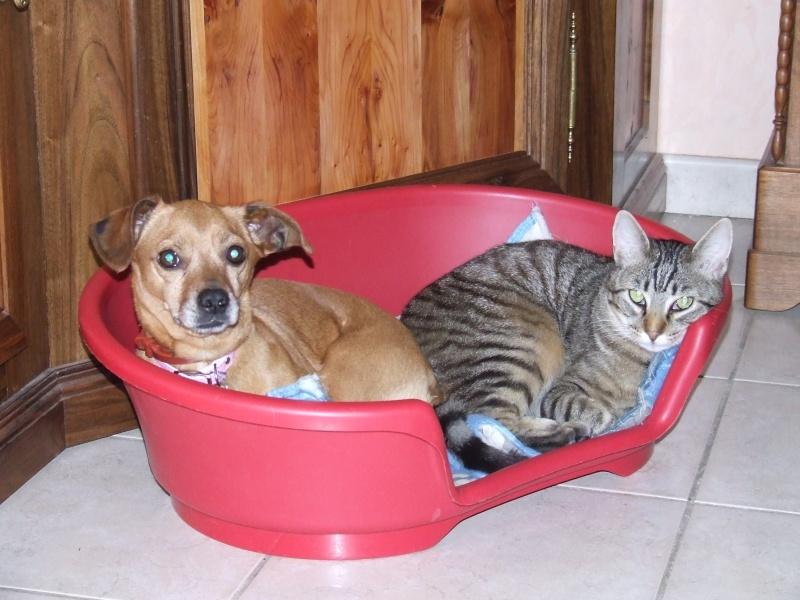 FIFILLE & MIRZA, croisée beagle (6 ans) et croisée teckel (7 ans) - A adopter ensemble 2009_010