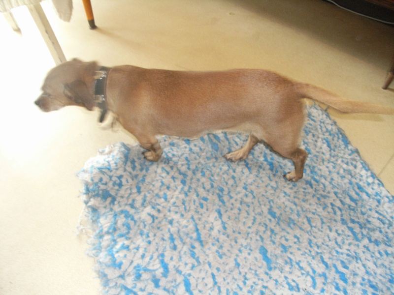 FIFILLE & MIRZA, croisée beagle (6 ans) et croisée teckel (7 ans) - A adopter ensemble Fifill10