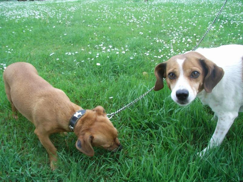 FIFILLE & MIRZA, croisée beagle (6 ans) et croisée teckel (7 ans) - A adopter ensemble Fifill11