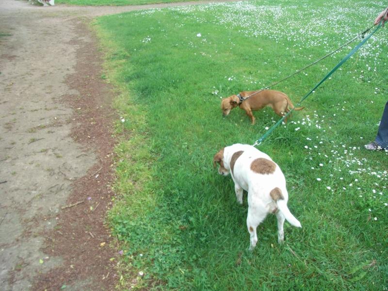 FIFILLE & MIRZA, croisée beagle (6 ans) et croisée teckel (7 ans) - A adopter ensemble Fifill12