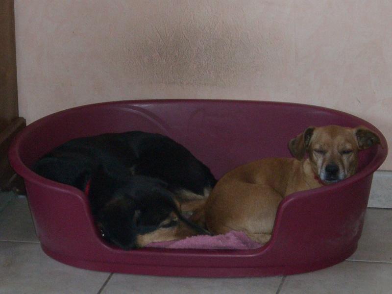 FIFILLE & MIRZA, croisée beagle (6 ans) et croisée teckel (7 ans) - A adopter ensemble Juille10