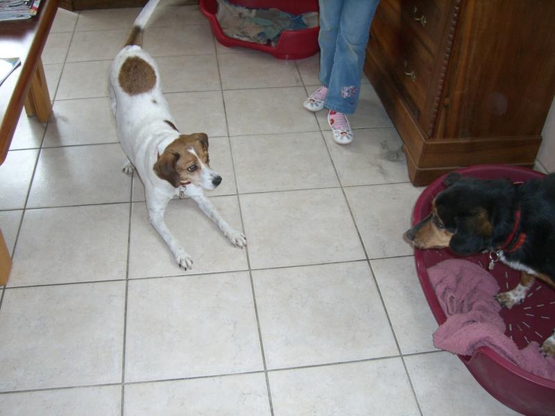 FIFILLE & MIRZA, croisée beagle (6 ans) et croisée teckel (7 ans) - A adopter ensemble Juin_210