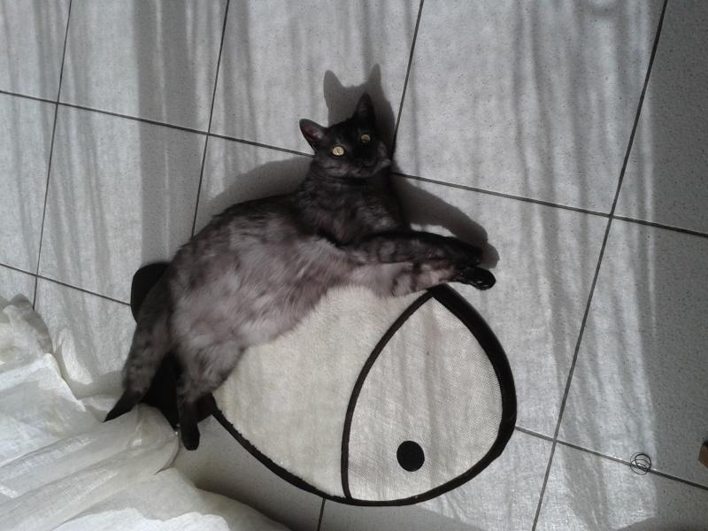 LIXOU, jeune chat européen, robe smoke, né en janvier 2015 20160410