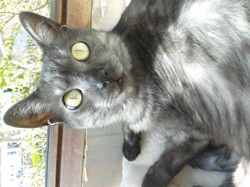 LIXOU, jeune chat européen, robe smoke, né en janvier 2015 20160510