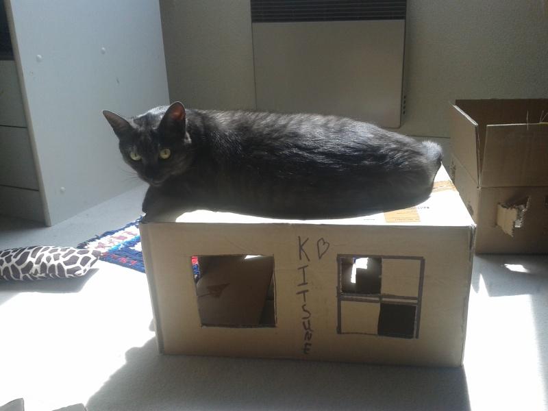 LIXOU, jeune chat européen, robe smoke, né en janvier 2015 20160511