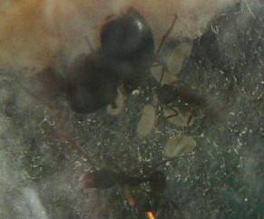 **Aphaenogaster rudis de Repentigny**-Lylo FIN P1130811
