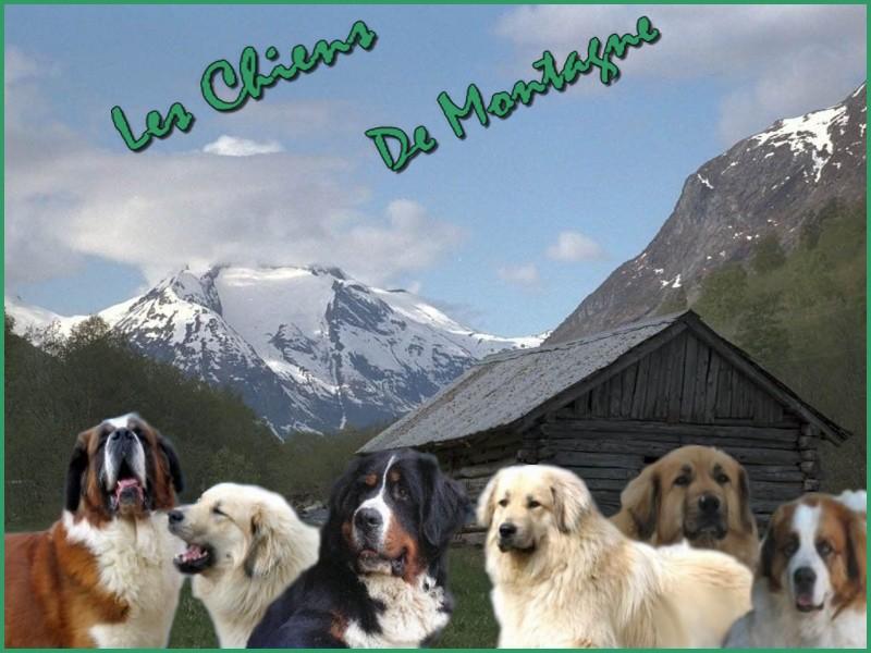 les chiens de montagne