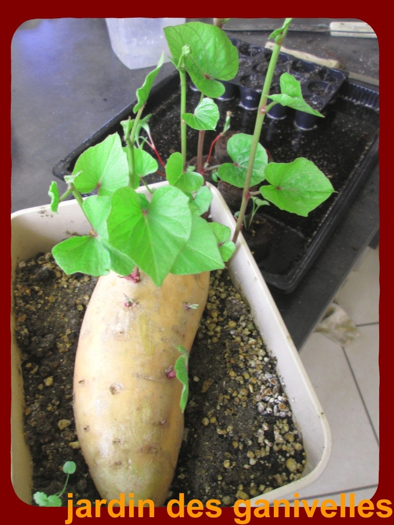 PATATE DOUCE (ipomoea batatas) - Page 6 Img_2510