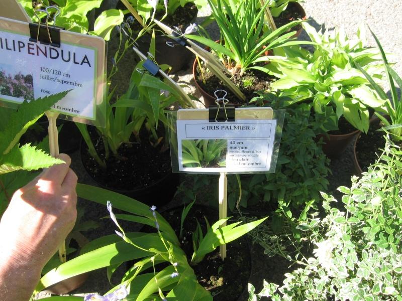 Iris palmier Img_9111