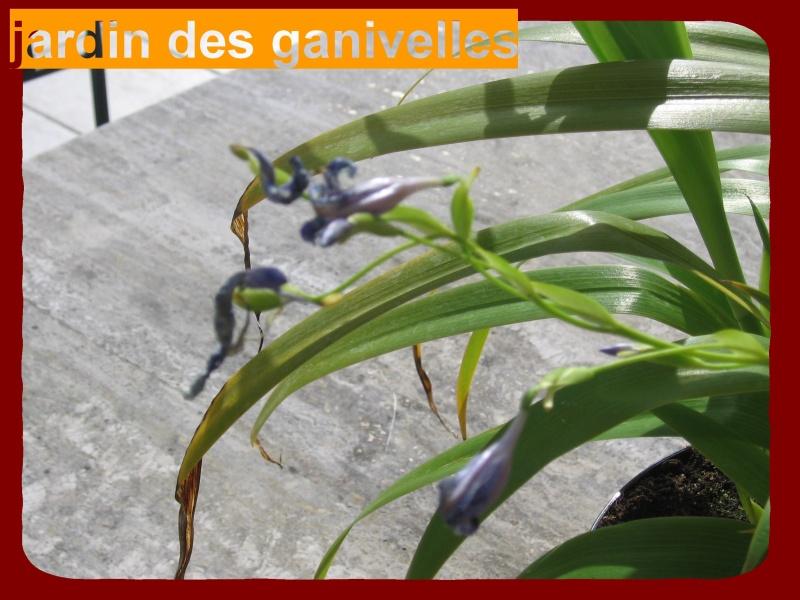 Iris palmier Img_9112