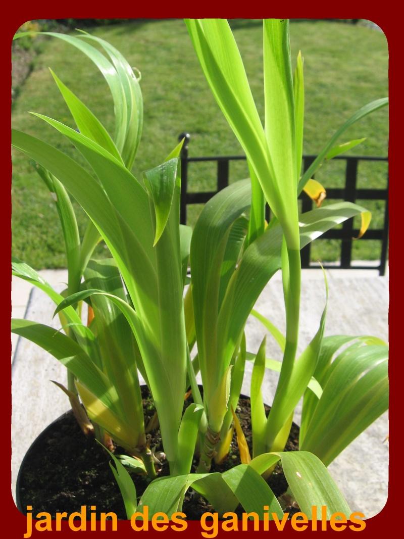 Iris palmier Img_9113