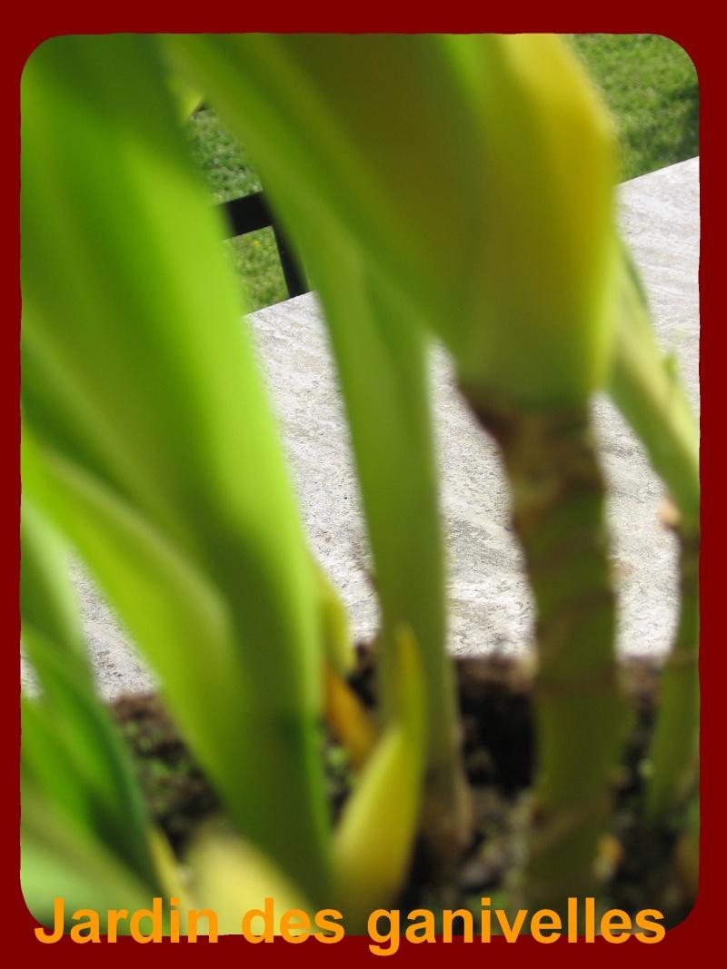 Iris palmier Img_9114