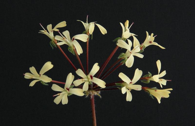 Pelargonium sp. Img_4010
