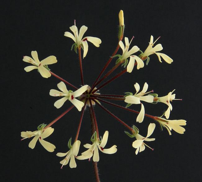 Pelargonium sp. Img_4011