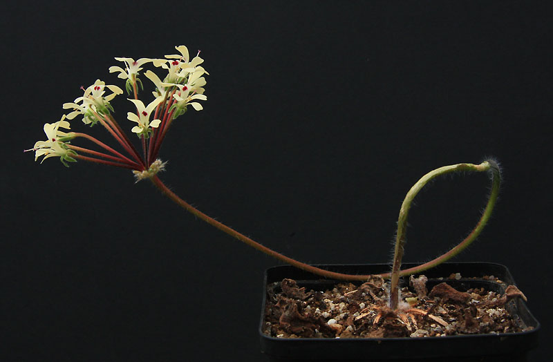 Pelargonium sp. Img_4110