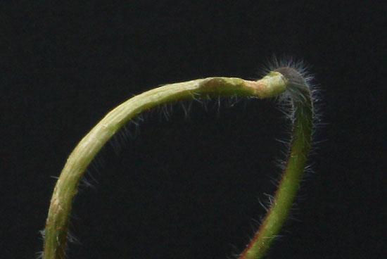 Pelargonium sp. Img_4111