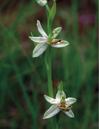 Ophrys apifera formes avec clés de recherches... Apifer10