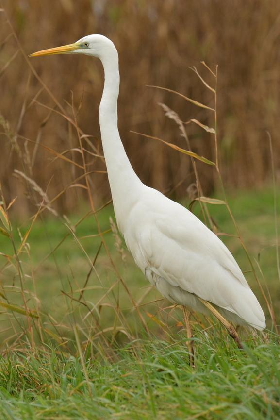 oiseaux des marais 77580a10