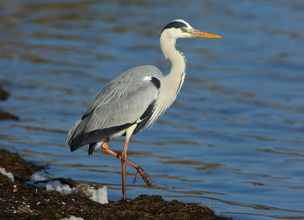 oiseaux des marais Heron_10