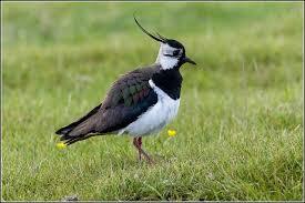 oiseaux des marais Tzolzo10
