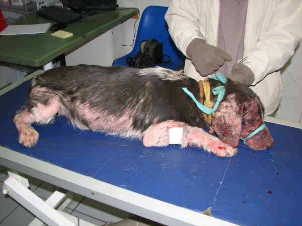 2 chiens retirés à leur propriétaire Acaill11