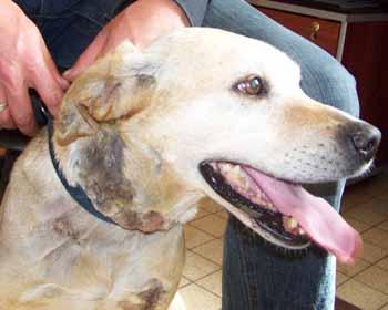 BELLE - femelle Labrador de 6 ANS - SPA de Dunkerque - ADOPTEE - Be-tet13