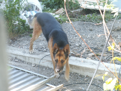 2 chiens sur un site attachés sans eau ni nourriture (93) - l'un est DECEDE Berger10