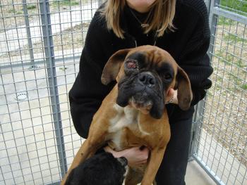 Une cinquantaine de chiens à sauver d'urgence dans la meuse (55) Boxer-10