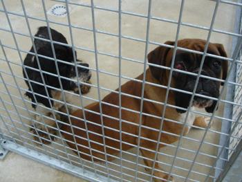 Une cinquantaine de chiens à sauver d'urgence dans la meuse (55) Boxer-11