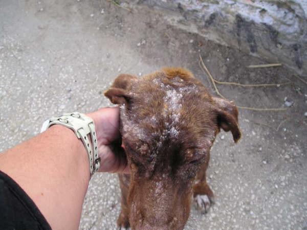 URGENT pour Petite chienne de Cadix SOS !!!! Espagne - en FA en France - Cadix-10