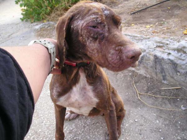 URGENT pour Petite chienne de Cadix SOS !!!! Espagne - en FA en France - Cadix-12
