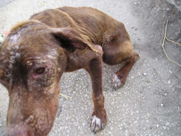 URGENT pour Petite chienne de Cadix SOS !!!! Espagne - en FA en France - Cadix-14